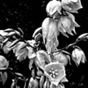 Yucca Blossoms Poster
