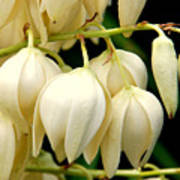 Yucca Flower Poster