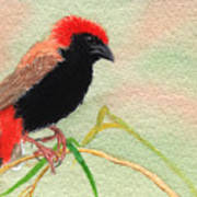 Zanzibar Red Bishop Poster
