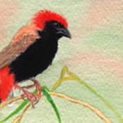 Zanzibar Red Bishop Poster