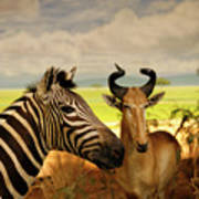 Zebra And Antelope Poster