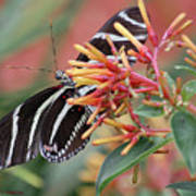 Zebra Butterfly With Blue Eyes Poster