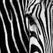 Eye Of The Zebra Poster