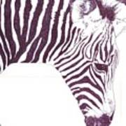 Zebra Colt Poster