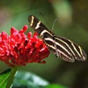 Zebra Heliconia Butterfly Poster