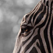 Zebra I Poster