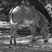 Zebra In Black And White Poster