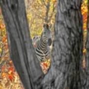 Zebra In Mopane Textures Poster