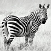 Zebra In The African Savanna Poster
