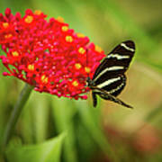 Zebra Long Wing Butterfly Poster
