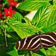 Zebra Longwing Butterfly In Living Desert Zoo And Gardens In Palm Desert-california  Poster