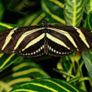 Zebra Longwing Butterfly On A Sanchezia Nobilis Tropical Plant Poster