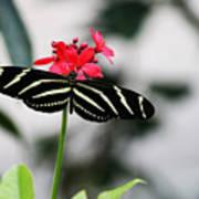 Zebra Longwing Butterfly Poster