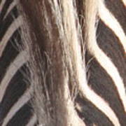 Zebra Mane Poster