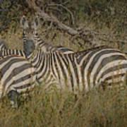 Zebra On The Serengeti Poster