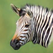 Zebra Portrait Poster by Trevor Wintle