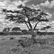 Zebra Running Through Savannah Poster