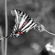 Zebra Swallowtail Butterfly 2016 Poster