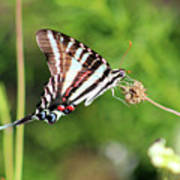 Zebra Swallowtail Butterfly In Garden 2016 Poster