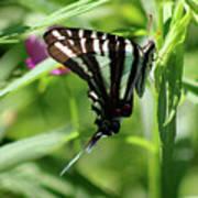 Zebra Swallowtail Butterfly In Green Poster