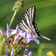 Zebra Swallowtail Butterfly On Phlox Poster