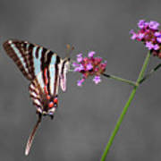 Zebra Swallowtail Butterfly With Verbena Poster