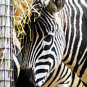Zebra Zee Poster