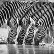Zebras Drinking Poster