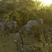Zebras In A Glen Poster