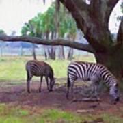 Zebras Under Oaks Poster