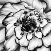 Zinnia Close Up In Black And White Poster