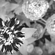 Zinnia In Black And White  Poster