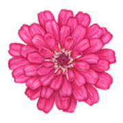 Zinnia In Pink Poster