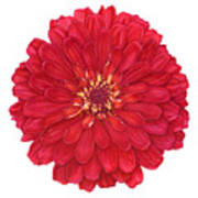 Zinnia In Red Poster