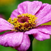 Zinnia In The Rain Poster