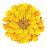 Zinnia In Yellow Poster