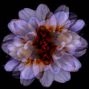 Zinnia On Black Poster