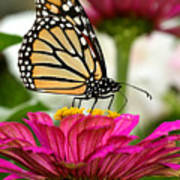 Zinnia Rose And Monarch Poster
