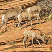 Zion Big Horn Sheep Poster