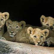 Four Cubs Poster