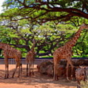 Zoo Giraffes And Zebras Poster
