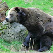Bear Sleeping On A Rock. Poster