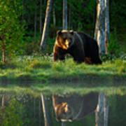 Big Brown Bear Walking Around Lake In Poster