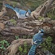 Blue Jay Stand Off Poster