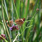 Buckeye Butterflies Poster