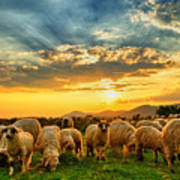 Flock Of Sheep Grazing In A Hill At Poster