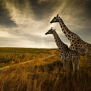 Giraffes And The Landscape Poster