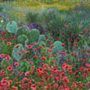 Indian Blanket Flowers And Opuntia Poster