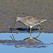 Long-billed Dowitcher Poster