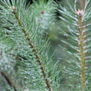 Moist Pine Tree Leaves With Water Droplets. Poster